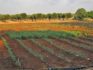 Piantagioni dell'azienda agricola
